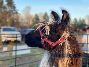 Llama at Christmas Tree farm, Cutchogue, New York