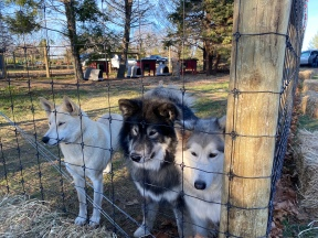Sled Dogs at Christmas Tree farm, Cutchogue, New York