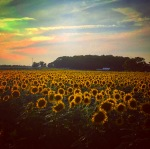 Sunflower farm at sunset, Mattituck, Long Island, North Fork
