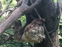 Chidren's Zoo Two-Toed Sloth
