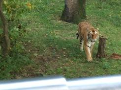 Tiger Mountian