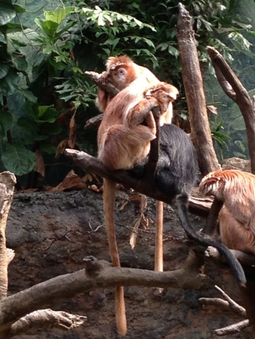 Jungleworld's Orange Langurs