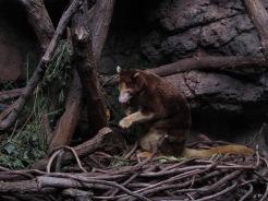Tree Kangaroo in Jungleworld