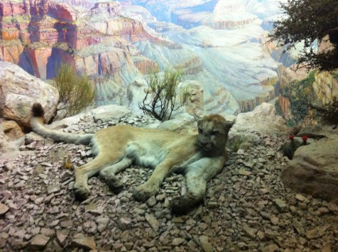 Hall of North American Mammals, Cougar