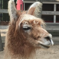Hello, Llama.