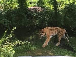 Tiger walking through his green exhibit at Tiger Mountain, Wild Asia Monorail, New York
