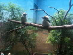 Kookaburra in World of Birds