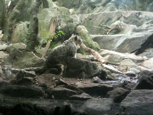 Snow Leopard in the Himalyan Highlands