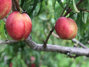 Fresh Peaches hanging from tree in orchard at Fishkill Farm, New York