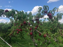 top of the peach tree in orchard, Fishkill Farm, New York