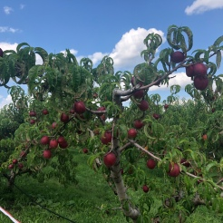 top of the peach tree in orchard, Fishkill Farm, New York