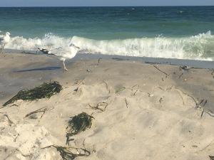 Seagull at the ocean beach, Robert Moses, Long Island