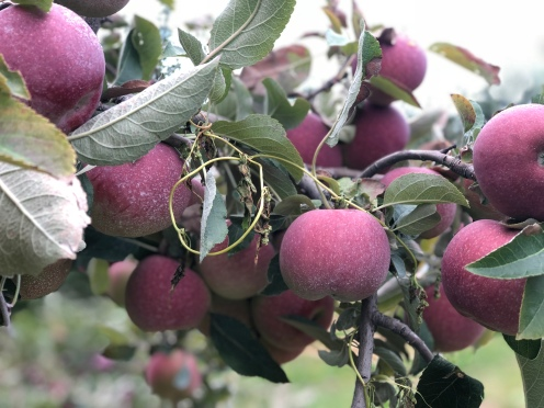 Fresh apples on the tree at Fishkill Farms, New York