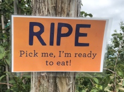 RIPE sign, ready to eat, at Fishkill Farms apple orchard, New York