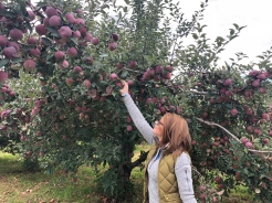 Woman picking an apple from a tree in an orchard at Fishkill Farms, New York