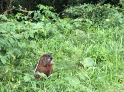 Gopher in the tall grass at Fishlkill Farms, New York