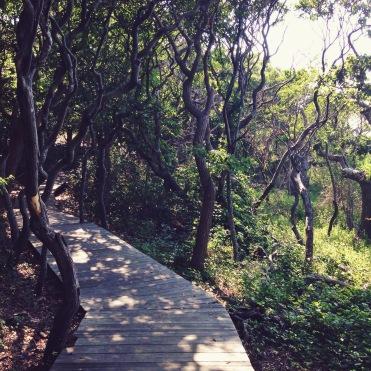boardwalk into the Sunken Forest, Fire Island, New York