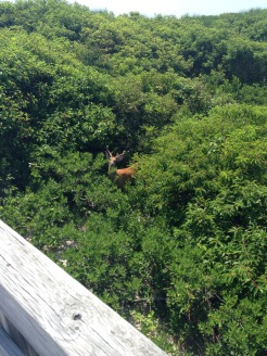 deer peeking out from the brush, Sailor's Haven, Fire Island