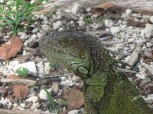 Iguana on Vaca Key, Florida
