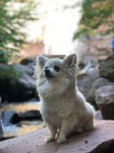 Long hair chihuahua sitting on the rocks at Kaaterskill Falls, Catskill Mountains, New York
