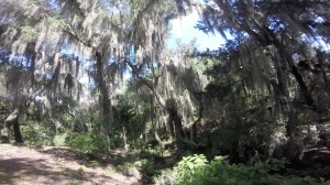 Spanish moss draped over the trees at Canyons Zip Line, Ocala, Florida