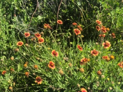 A bunch of wildflowers, Fire Wheel, on the beach at Anastasia State Park, Florida