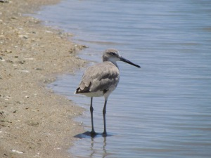 Willet bird at the beach in lagoon at Anastasia State Park, Florida