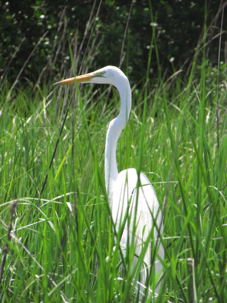 Great White Egret bird in the tall grass in the Salt Run at Anastasia State Park, Florida