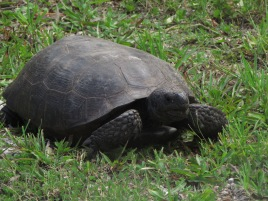 "18"" Giant Turtle walking in the grass at Anastasia State Park, Florida"