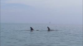 Two dolphins swimming in Key West, Florida