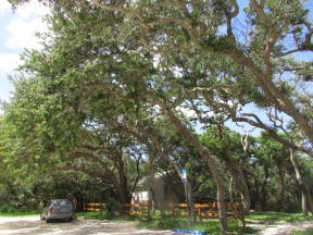 Trees shaped by the prevailing winds at Anastasia State Park, Florida