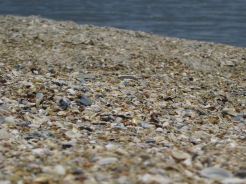 Sea Shell covered beach at Anastasia State Park, Florida