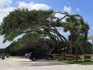 The trees growing in one direction, pushed by the prevailing winds, shade the parking lot at Anastasia State Park, Florida
