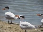 Elegant Tern Birds at the Lagoon on the beach at Anastasia State Park, Florida