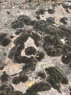 Grimmia Moss on the granite surface of Arabia Mountain, Georgia