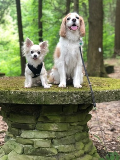 Chihuahua and Cavalier buddies on stone table along the rim trail at Watkins Glen State Park, New York