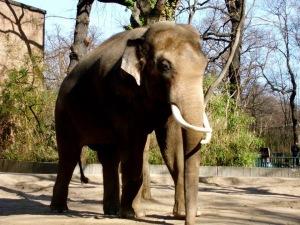 elephant at Zoo Berlin, Germany