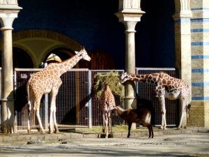 Giraffes at Zoo Berlin, Germany