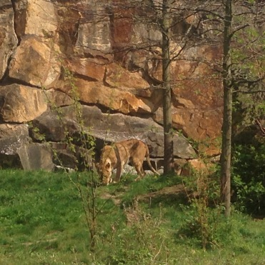 Big Cats enclosure at Zoo Berlin, Germany