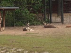 kangaroos at Zoo Berlin, Germany