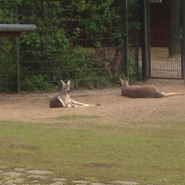 kangaroos at Zoo Berlin, Germany
