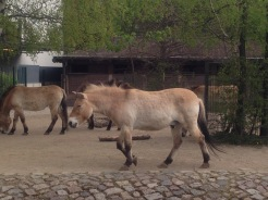 Przewalski's Horse at Zoo Berlin, Germany