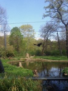Vulture in Flight at Zoo Berlin, Germany