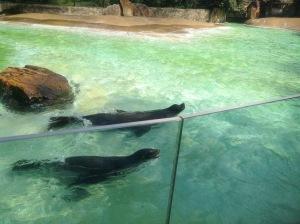 Northern Fur Seals swimming at Zoo Berlin, Germany