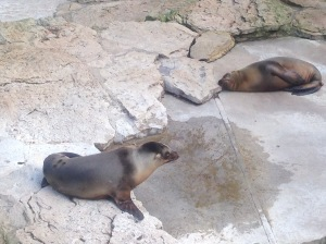 Northern Fur Seals at Zoo Berlin, Germany