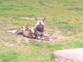 Wild Dog at Zoo Berlin, Germany