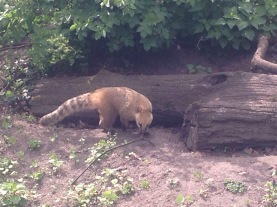Coati at Zoo Berlin, Germany