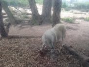 Arctic Wolf at Zoo Berlin, Germany