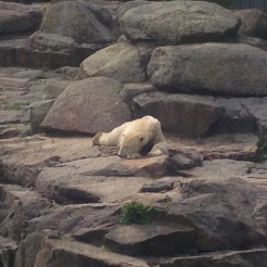 Sleeping Polar Bear at Zoo Berlin, Germany