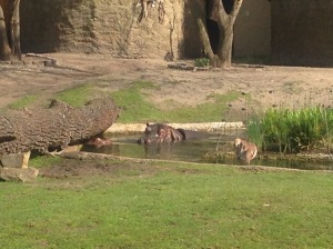 Hippo swimming Berlin Zoo, Germany